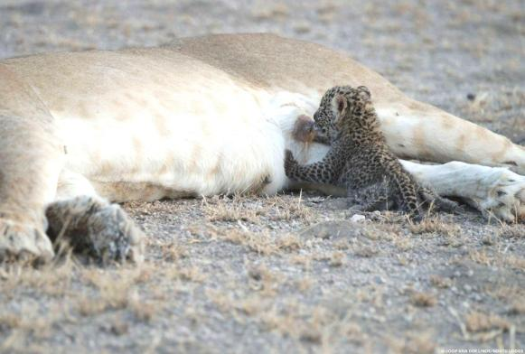 This lioness adopted a small leopard! This is the first documented case in history that a wild animal has adopted a cub of another species 5