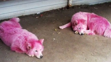 Aby przyciągnąć turystów, pomalowali psy na różowo. Gdy nie były już potrzebne, wywieźli je do lasu i zostawili na pastwę losu!