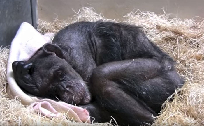 A 59-year-old chimpanzee dying with tears in her eyes bid farewell to her protector. This recording will touch even the toughest heart. 2