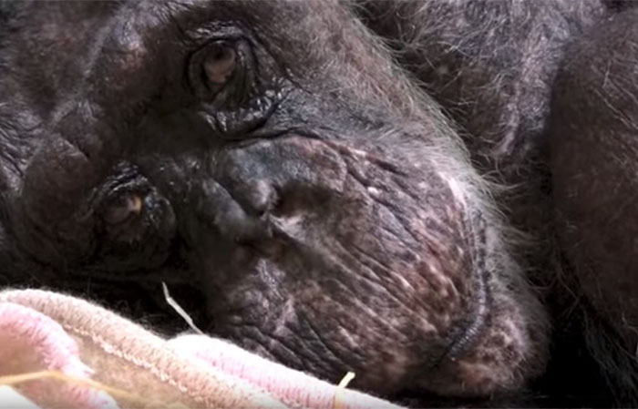 A 59-year-old chimpanzee dying with tears in her eyes bid farewell to her protector. This recording will touch even the toughest heart. 3