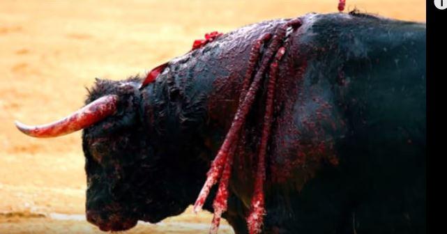 Wysłał swojego byka na pewną śmierć. Gdy poranione zwierzę przybiegło do właściciela po ratunek, jedyne co otrzymało to pocałunek!