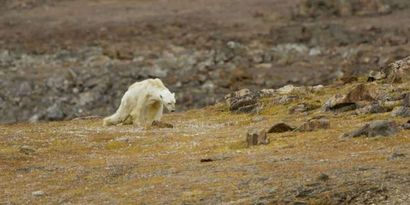 This heart-rending video about a starving polar bear brutally shows how global warming destroys wildlife 4