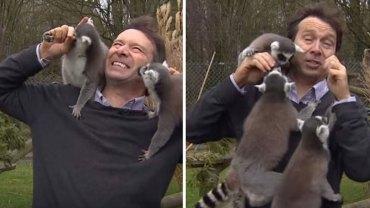 Praca dziennikarza bywa nieprzewidywalna, o czym przekonał się pewien reporter wizytujący w ZOO, który wpadł w oko stadku uroczych lemurów