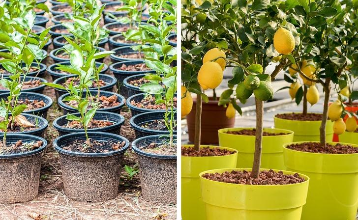8 drzewek owocowych, które wyhodujesz z pestki. Może to chwilę potrwać, ale satysfakcja gwarantowana
