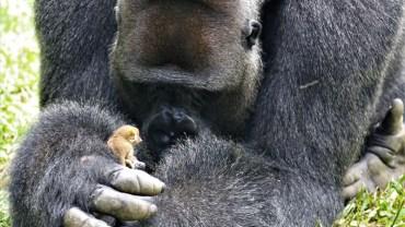 Potężny goryl bierze w łapy maleńką małpkę i ją przytula. Maluszek w końcu czuł się bezpiecznie w dżungli