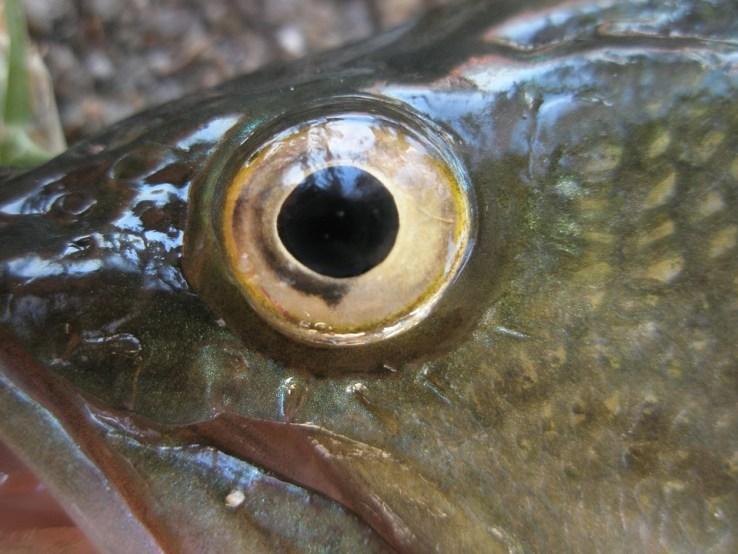"""Aby """"odświeżyć"""" ryby przyklejali im sztuczne oczy! Klienci, którzy je kupili byli wściekli, że dali się nabrać"""