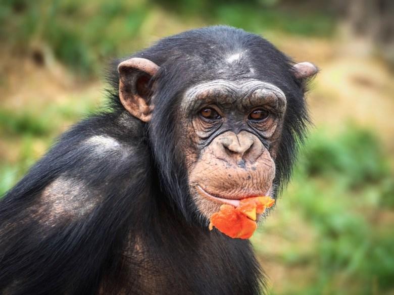 W Chinach stworzono hybrydę ludzi i małp! Stworzenia mają służyć do przeszczepów narządów