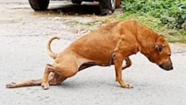 Bezdomny pies udaje niepełnosprawnego, żeby prosić o jedzenie! Poczekaj, zanim zaczniesz mu współczuć