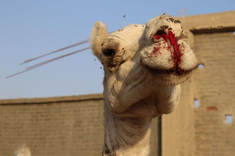 Okładają zwierzęta kijami, głodzą i zmuszają do morderczej pracy. Wszytko to w jednym z 7 CUDÓW ŚWIATA!
