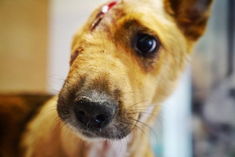 Siekierą odrąbał psu pół pyska! Weterynarz nie dowierzał, że zwierzak wciąż żyje