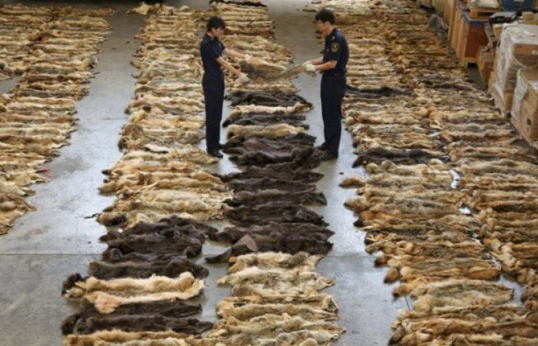 6 paskudnych faktów o branży futrzarskiej! Do takiego okrucieństwa nie powinno dochodzić w żadnym kraju