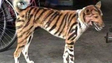 Rolnik przemalował psa za tygrysa, żeby odstraszyć intruzów ze swojego pola! W tym szaleństwie jest metoda