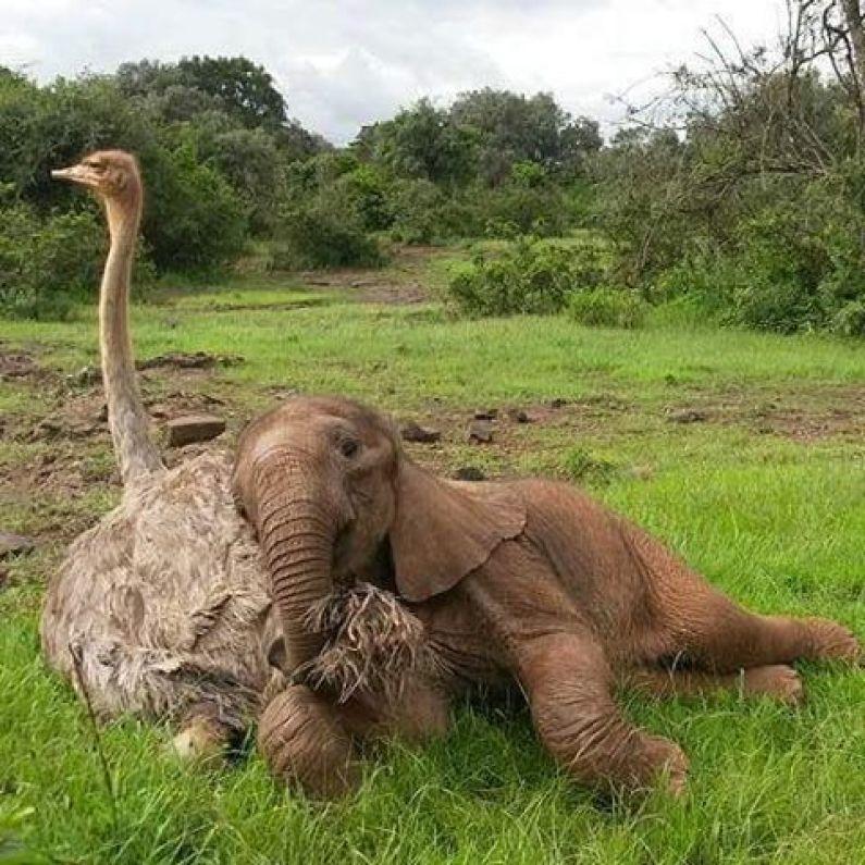 Słonik, który stracił matkę, codziennie przytula się do strusia! Ta międzygatunkowa przyjaźń podbiła internet