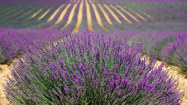 beautiful lavender fields in Provence, the South of France