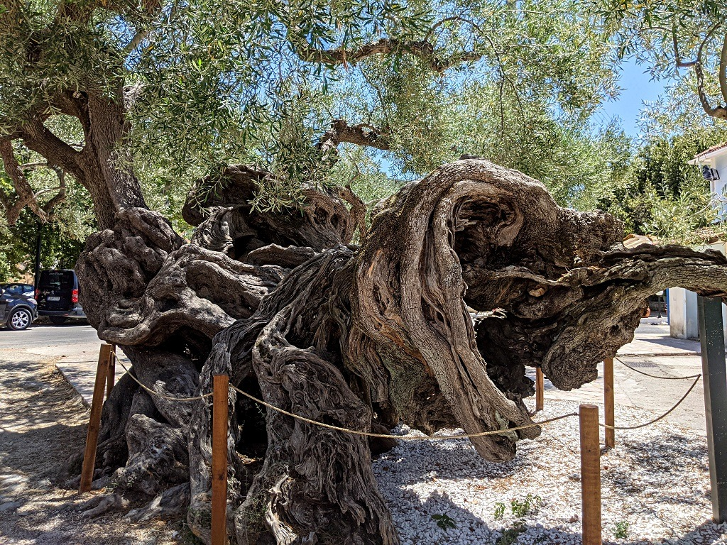 Exo Chora and the Oldest Olive Tree