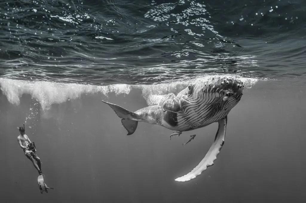 Humpback Whale - Jett Britnell