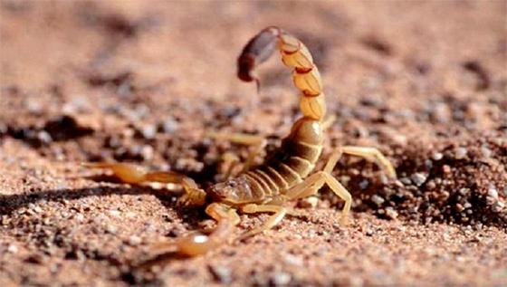Recul des décès par envenimation scorpionique
