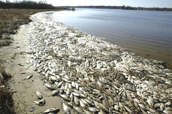 D'importantes quantités de poissons morts flottant à la surface des eaux