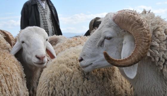 Le mouton de l'Aïd El-Adha cher