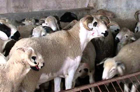 Ghardaïa : Trop cher, le mouton de l'Aïd