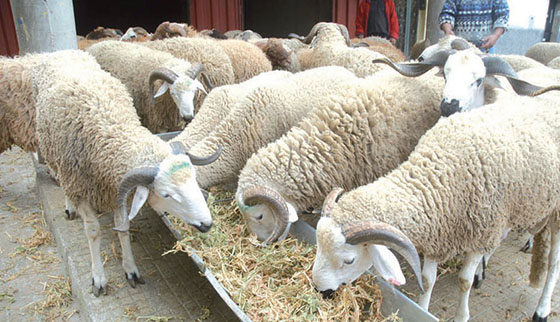 Béjaïa : Des brigades vétérinaires  pour contrôler les moutons sacrifiés