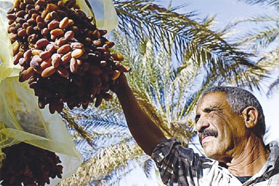 La cueillette des dattes, un festival à Ghardaïa