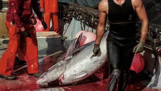 Pêche du thon rouge : L'Algérie arrache un quota de 1 043 tonnes