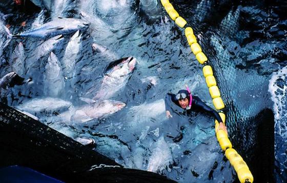Pêche du thon rouge : Le quota de l'Algérie pour 2017 porté à 1 046 tonnes