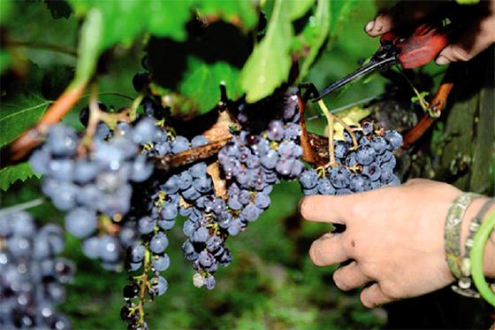 Plaidoyer à Tizi-Ouzou pour la culture vinicole