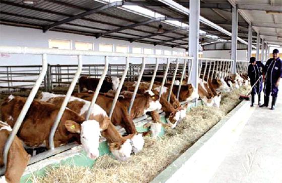 Bientôt un grand complexe laitier irlandais à Ghardaïa