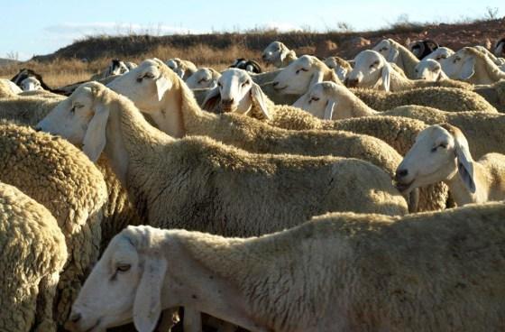 Le prix moyen du mouton de l'Aïd à 30 000 dinars