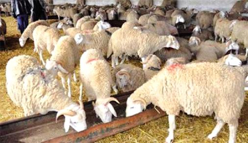 L'improvisation de souks à moutons fait sa loi à Constantine