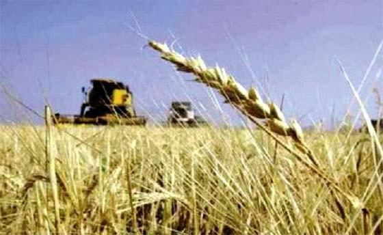 Une production céréalière en hausse à Tizi Ouzou