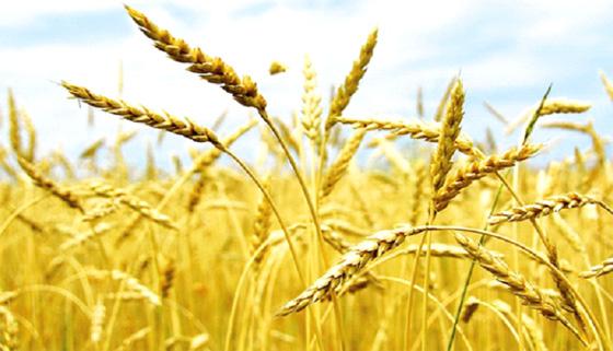 «L'Algérie doit produire 100 millions de quintaux de céréales par an»