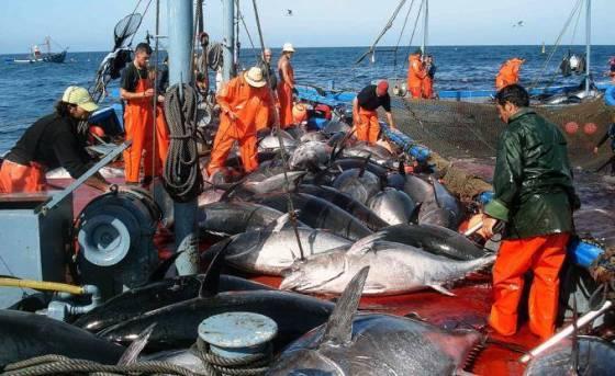Un quota de 1 300 tonnes de thon rouge pour l'Algérie