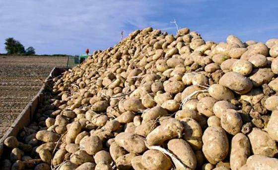 Pomme de terre:Déstockage d'un million de quintaux pour stabiliser le marché