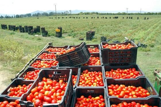Hausse sensible de la production de la tomate en 2018
