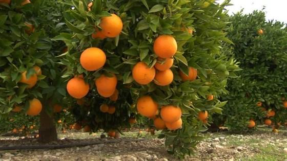Journées méditerranéennes sur l'agrumiculture