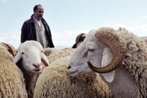 Aïd-El-Adha : 128 points de vente de moutons autorisés à Alger