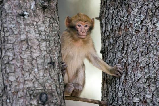 Médéa : Menace sur le singe magot