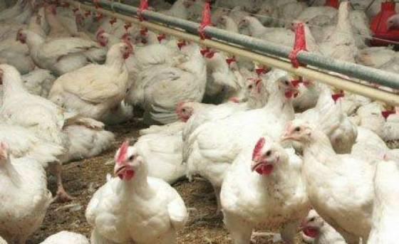 Consommation : Le prix du poulet repart à la hausse