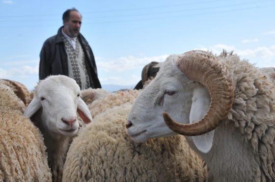 Fermeture des marchés de bétail dans plusieurs wilayas dans l'Est du pays