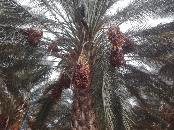 Une récolte généreuse de dattes à Ghardaïa