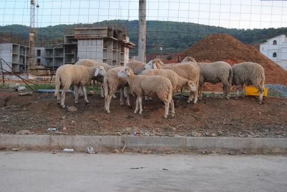 Pas de vente de moutons en plein air à Birtouta