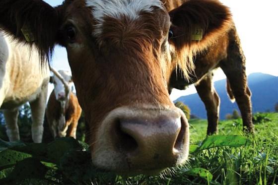 Fièvre aphteuse: panique chez les éleveurs de Tizi-Ouzou