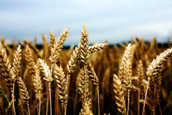 L'Algérie introduit des variétés de semences à haut rendement