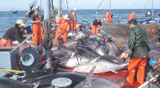 13 armateurs disposés à pêcher le quota de thon algérien