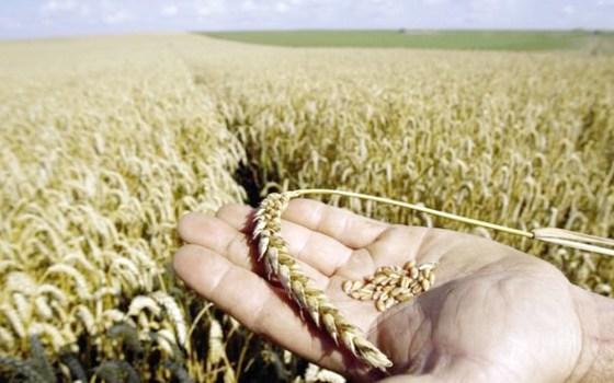 Le blé français n'a plus la cote