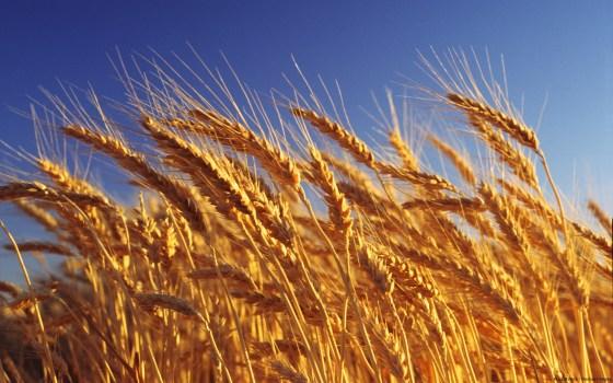 La facture des céréales explose au 1er semestre 2015