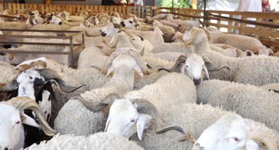 Des points de vente de moutons dans les quartiers huppés